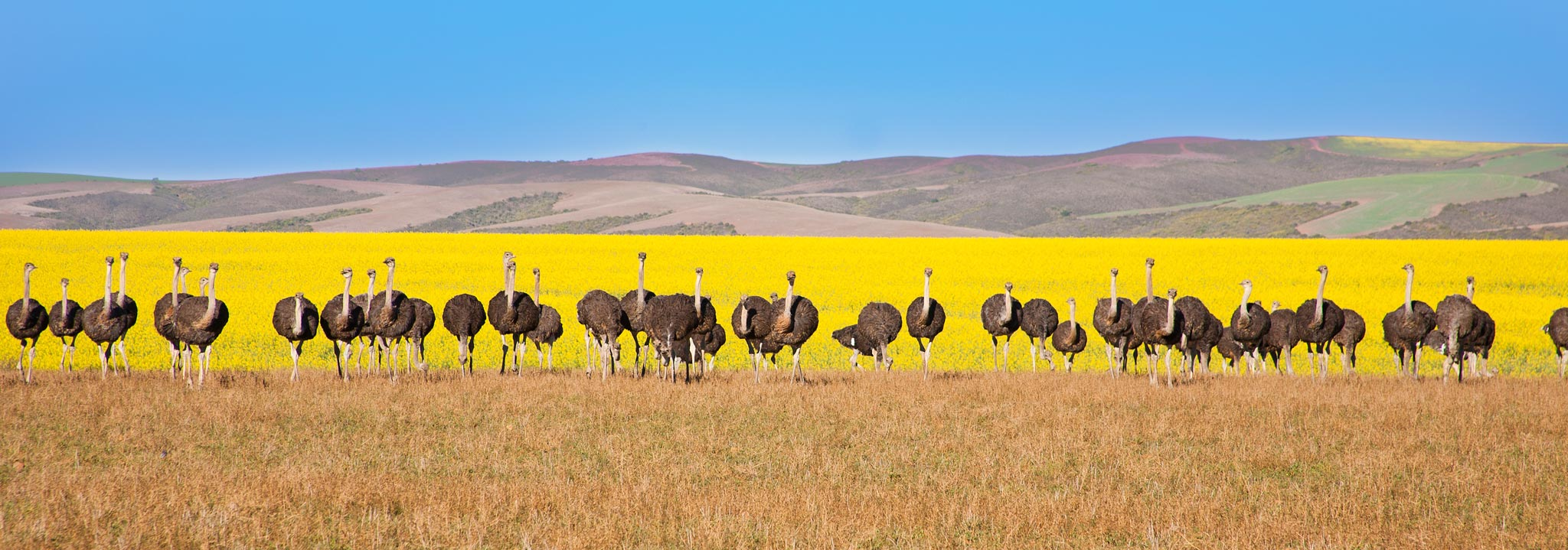Ostriches in South Africa in forn of Canola