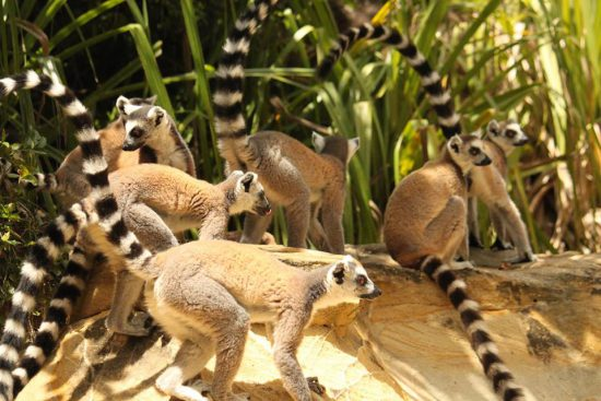 A group of ring-tailed lemurs in Madagascar