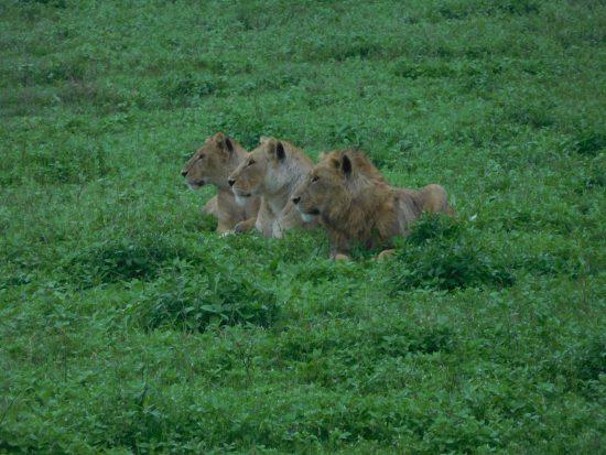 Three lions in Ngorongoro Crater