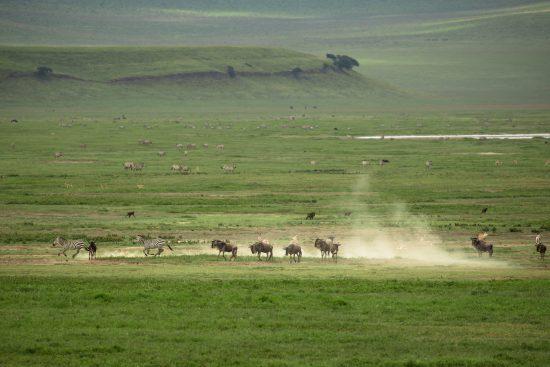 Zebra and wildebeest in the Ngorongoro Crater