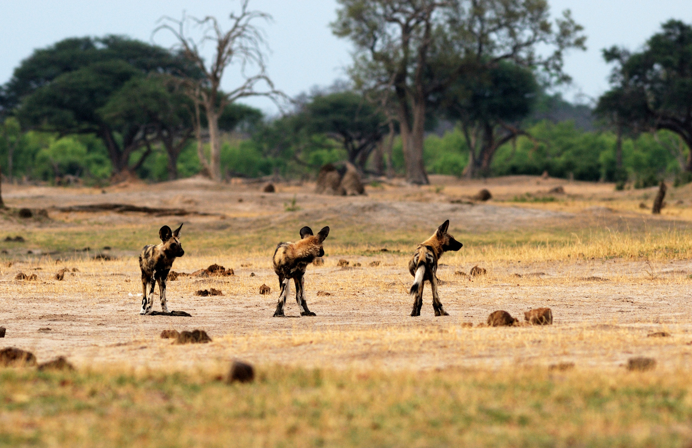 Three wild dogs on the prowl