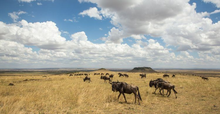The wildebeest roam the Serengeti