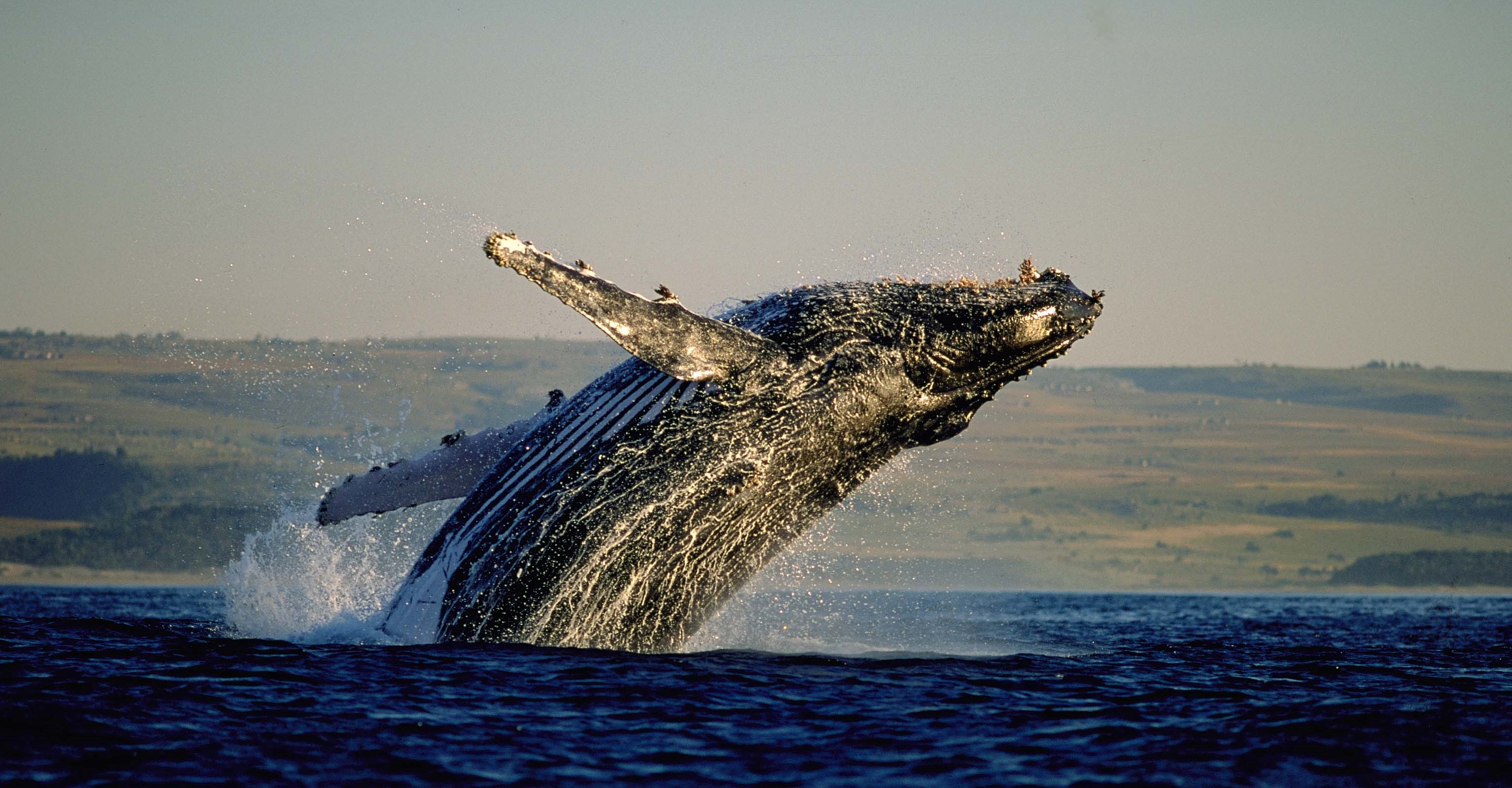 whale-watching-hermanus-cape-town-activities