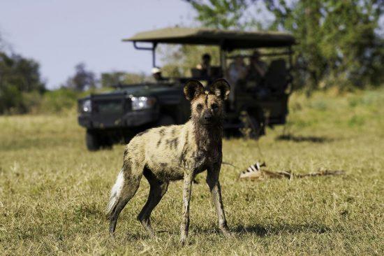 Um cão-selvagem é avistado durante safári no Botsuana