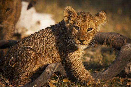 Filhote de leão durante a estação verde no Botsuana