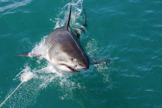Shark cage diving at Gansbaai