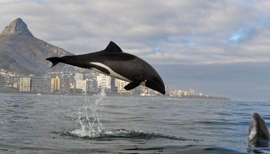 Heaviside's Dolphin in Cape Town Photo by Kaskazi Kayaks