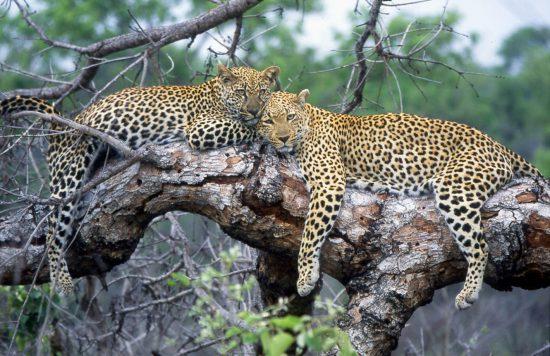 Sabi Sand ist berühmt für seine anmutigen Leoparden – so lassen sich diese auch bei Londolozi immer wieder blicken.