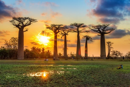 Avenue of baobabs at sunset