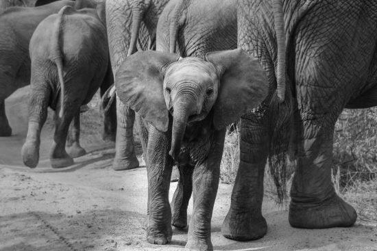 Ein Babyelefant trötet in die Kamera