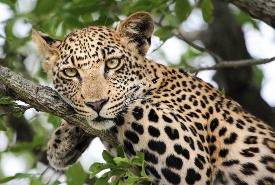 Ein Leopard in einem Baum