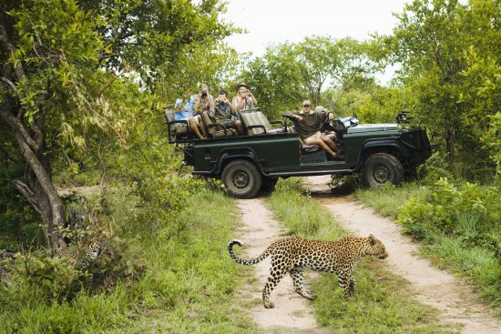Leopard walks across path in from of safari vehicle