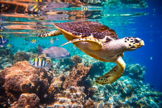 Turtle in shallow coral reef