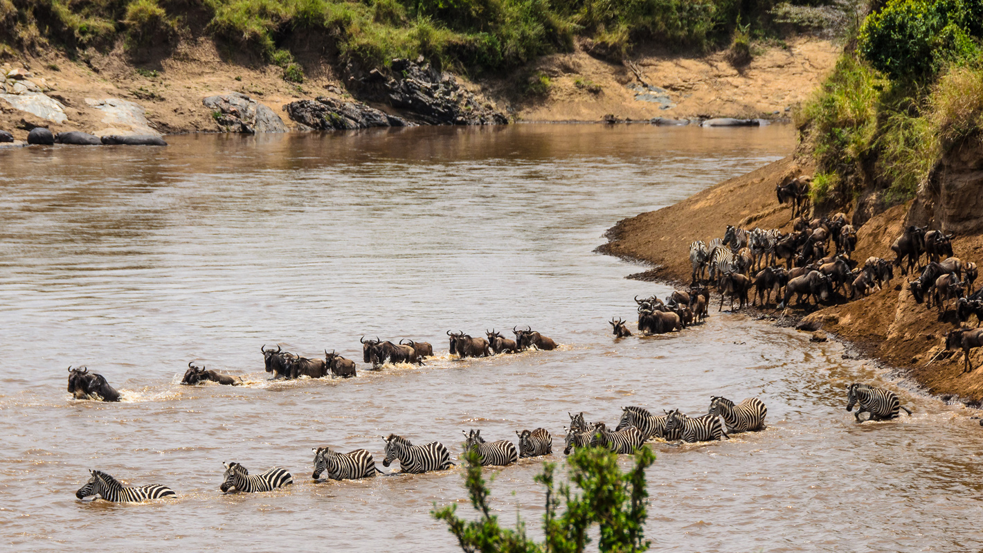 Zebra and wildebeest crossing a river