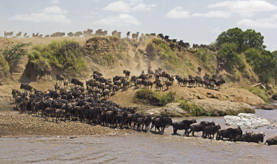 """Gnus überqueren im Zuge der """"Großen Tierwanderung"""" einen Fluss"""