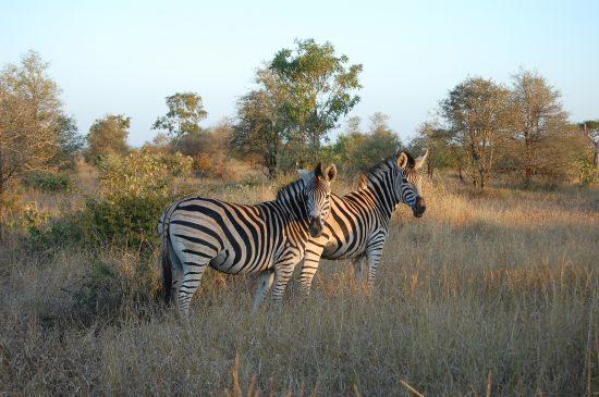 Burchell's Zebra at Kruger National Park