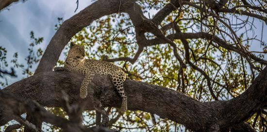 A leopard resting in a tree