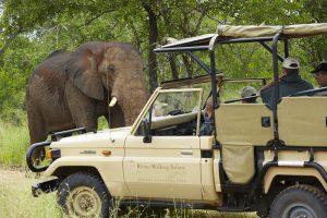 Rencontre en voiture avec un éléphant au Kruger