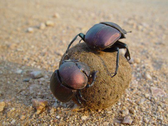 Dung beetles at Rhino Walking Safaris Post Camp