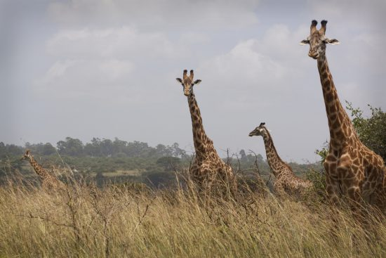 Tall giraffes in Nairobi National Park