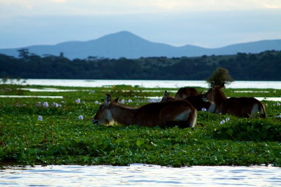 Water bucks on Lake Naivasha