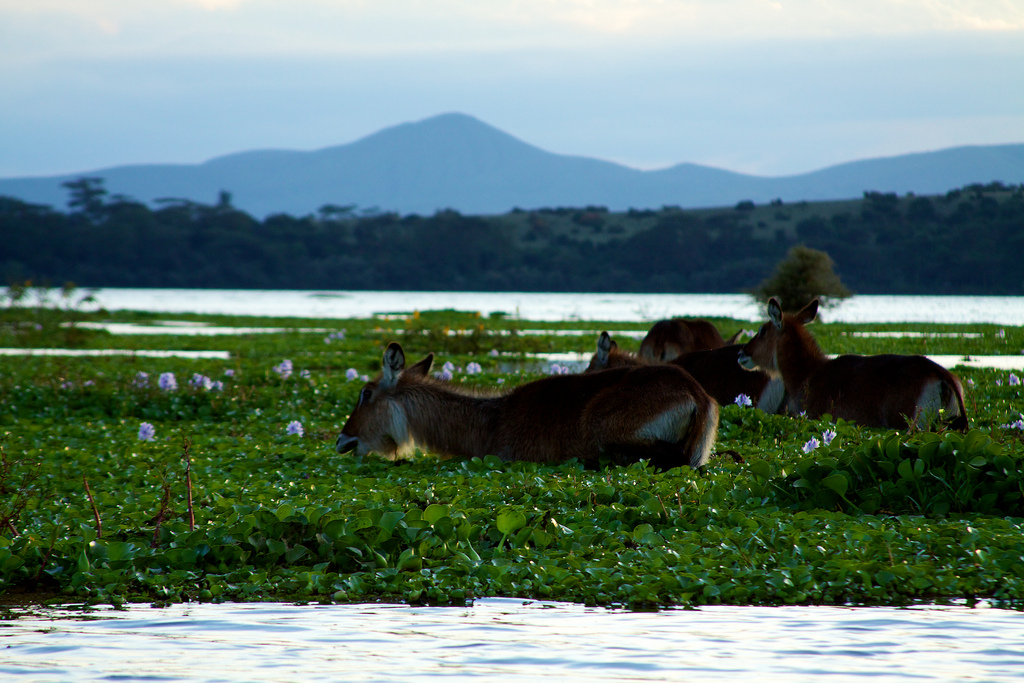 Water bucks on Lake Naivasha #2