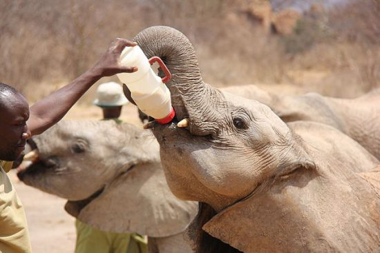Ivory orphaned elephants being bottle fed