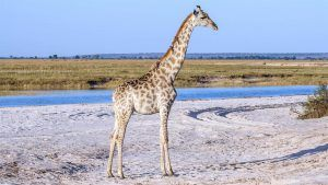 Girafe dans le désert de sel du Pan d'Etosha en Namibie