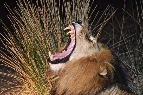 roaring lion at night