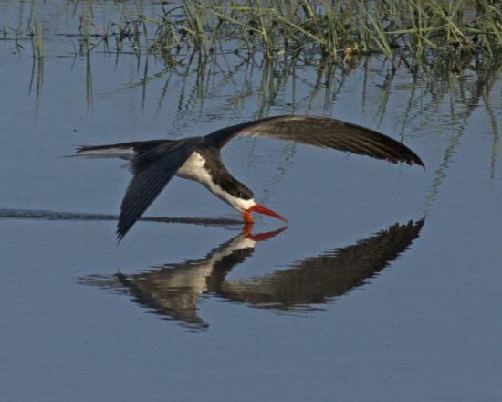 Ein afrikanischer Scherenschnäbel auf der Nahrungssuche fliegt übers Wasser