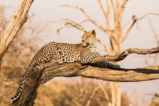 botswana leopard in tree