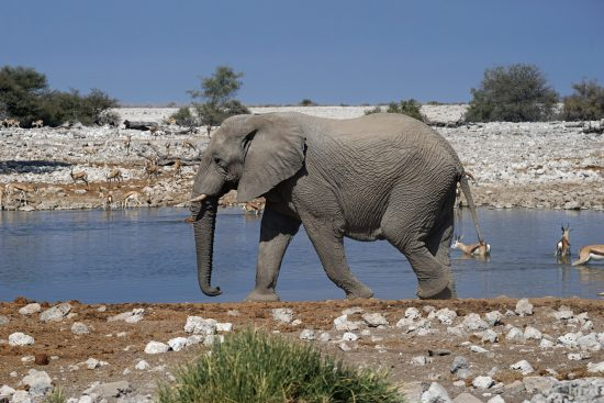 A elephant at a watering hole