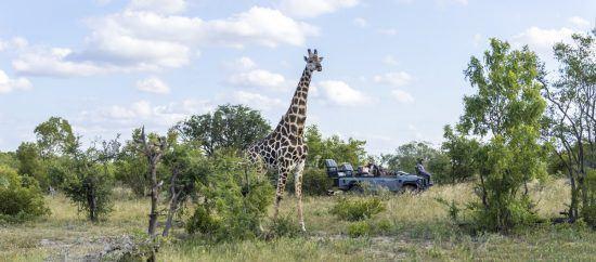 Menschen in einem Safari-Fahrzeug beobachten eine Giraffe