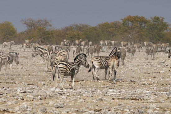 A herd of zebras in Etosha