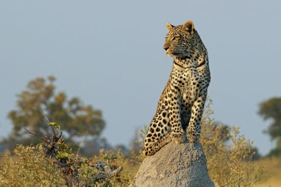 A leopard sits on a termite mound