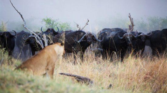 León ante una manada de búfalos en Botsuana