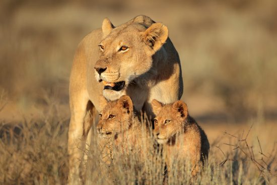 mother lion with two cubs