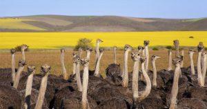 Un grupo de avestruces en Overberg, en la Garden Route