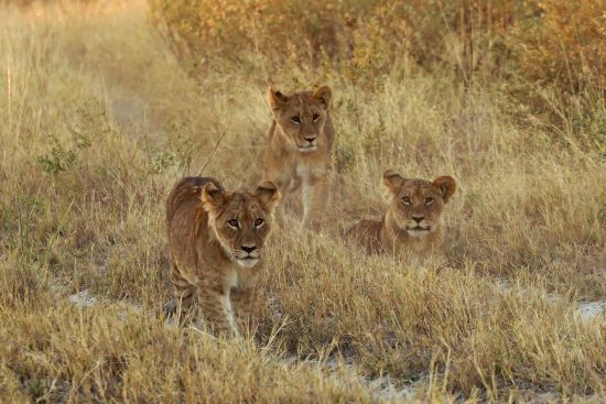 Three lion cubs eye the activity on the road