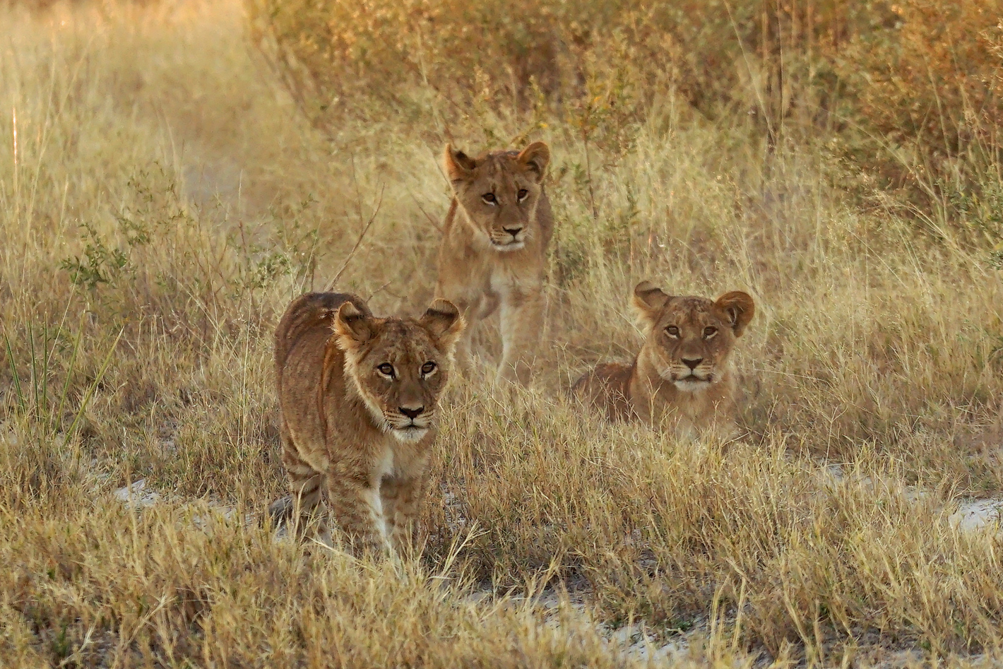three lion cubs in road
