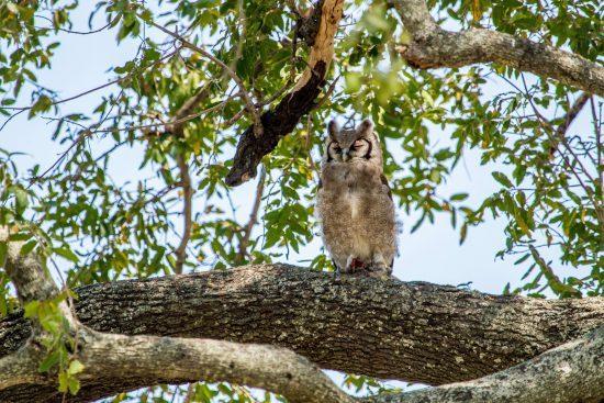 Giant Eagle Owl in the Okavango