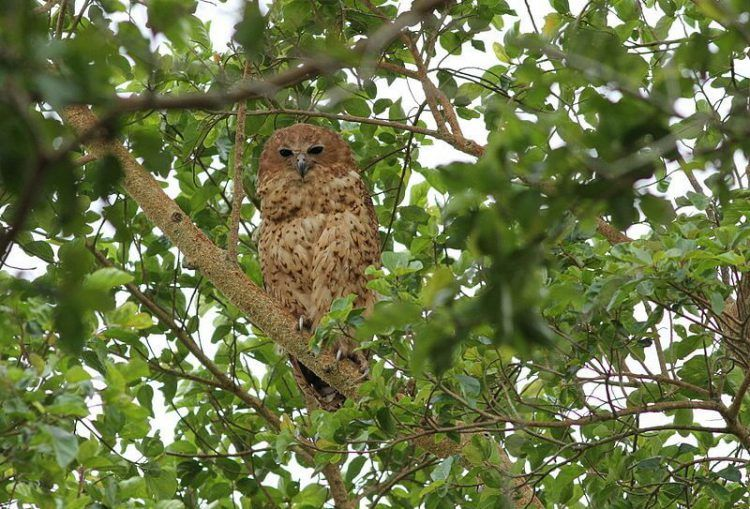 Pel's Fishing Owl in the Okavango