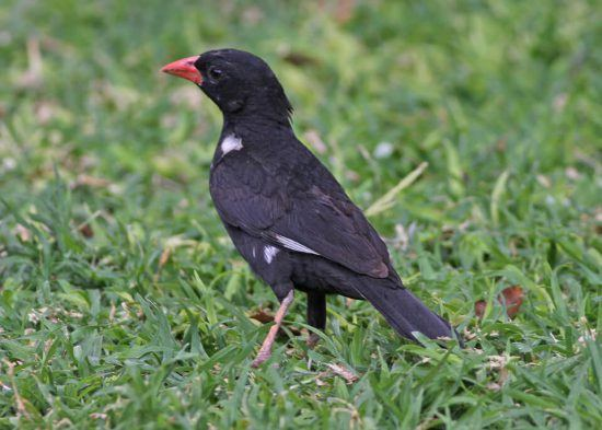 The Red-billed Buffalo Weaver