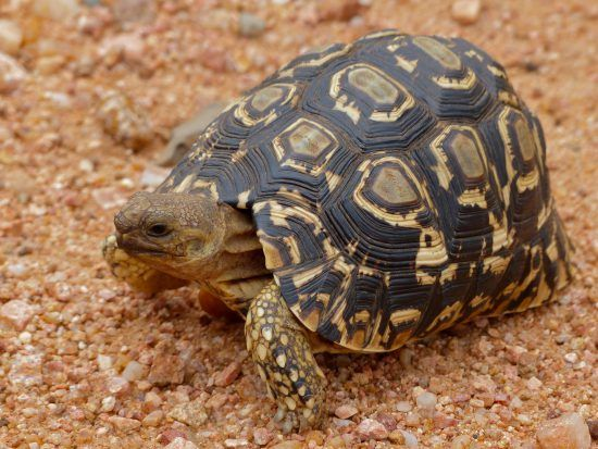 The leopard tortoise is endangered