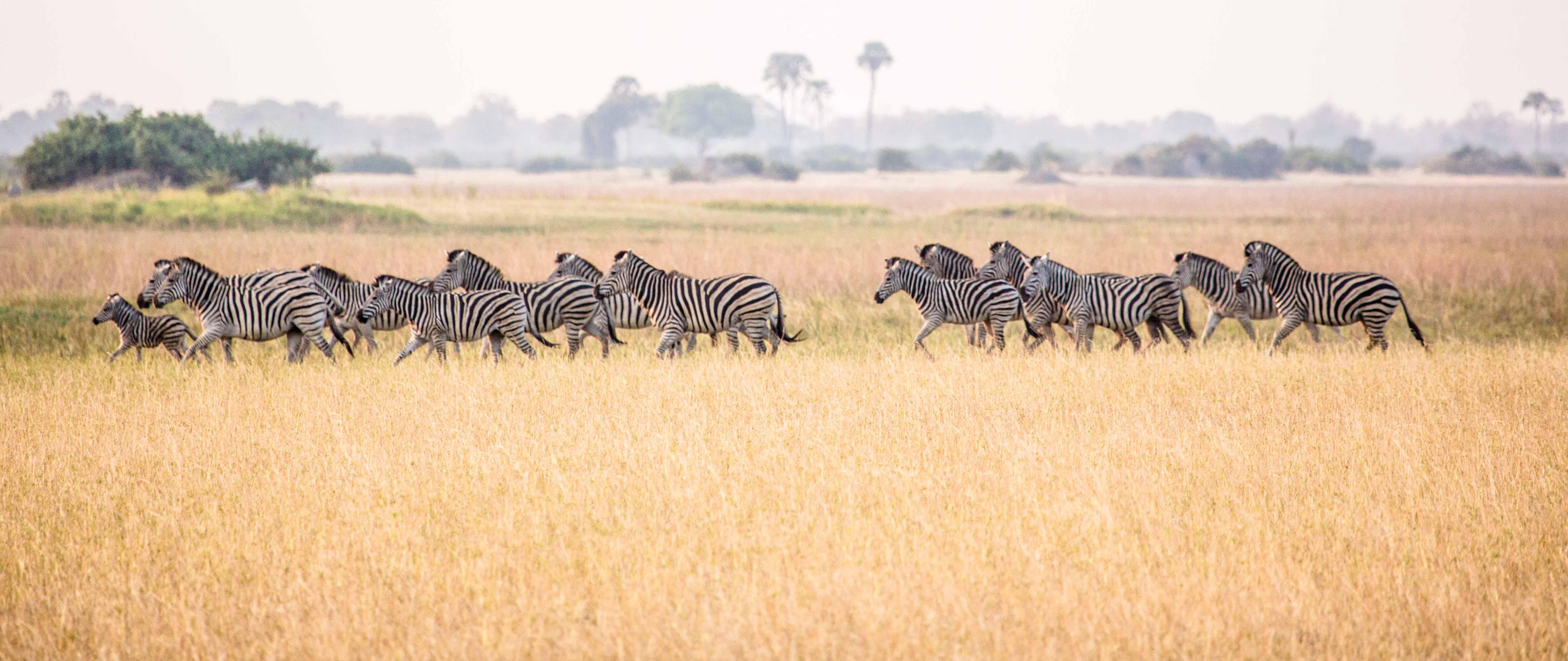 botswana zebras in grasslands