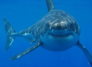 Grand requin blanc en Afrique du Sud, l'un des Big 5 de l'Océan