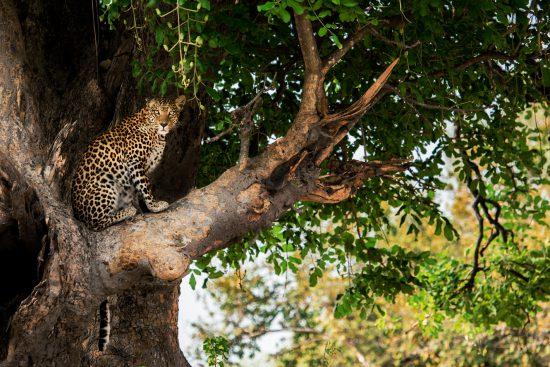 A beautiful leopard in a tree