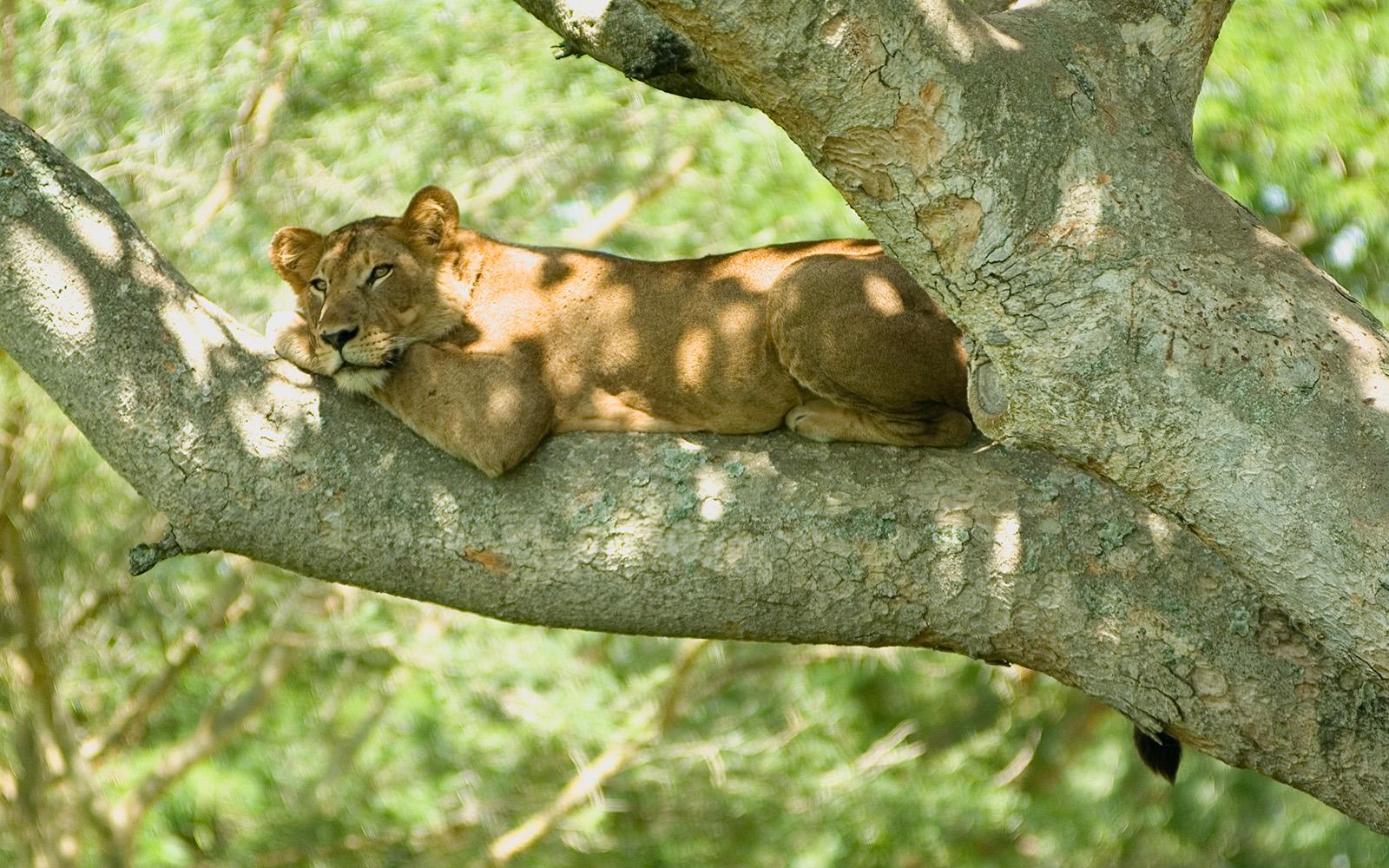 Löwen, die auf Bäume klettern