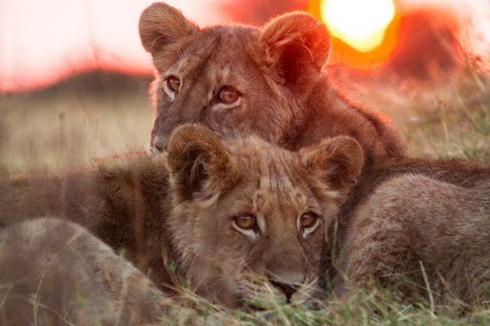 Two lion cubs lying together with the sunset behind