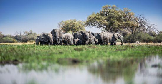 A herd of elephants in the water